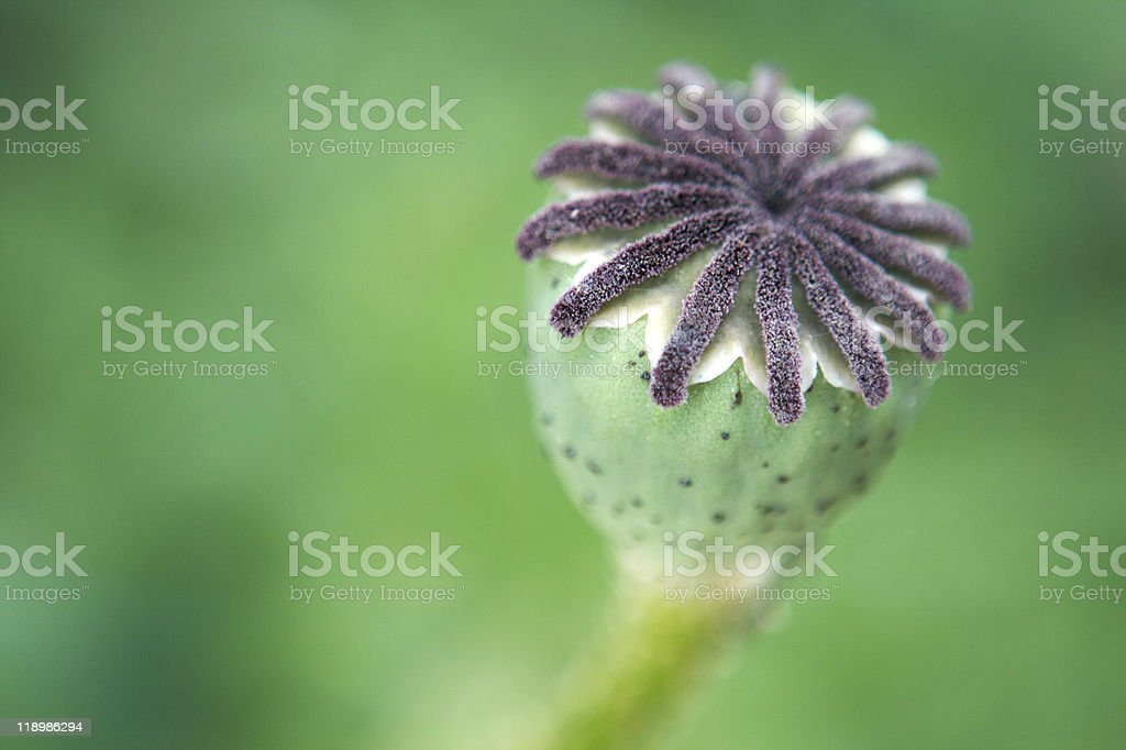 Oriental Poppy Seed Head royalty-free stock photo