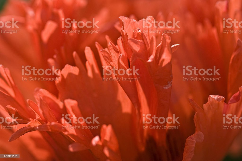 Oriental poppy series stock photo