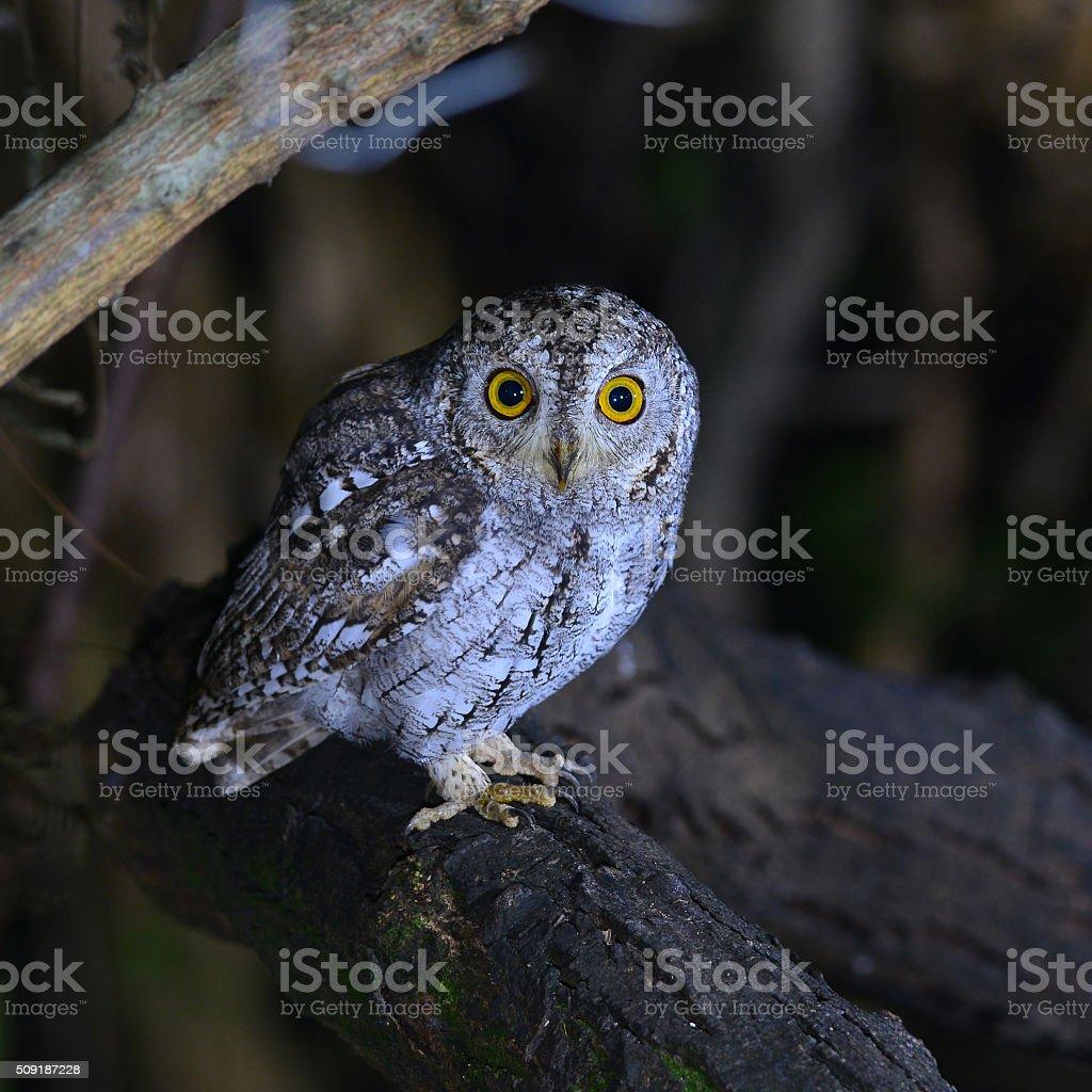 oriental scop owl bird stock photo