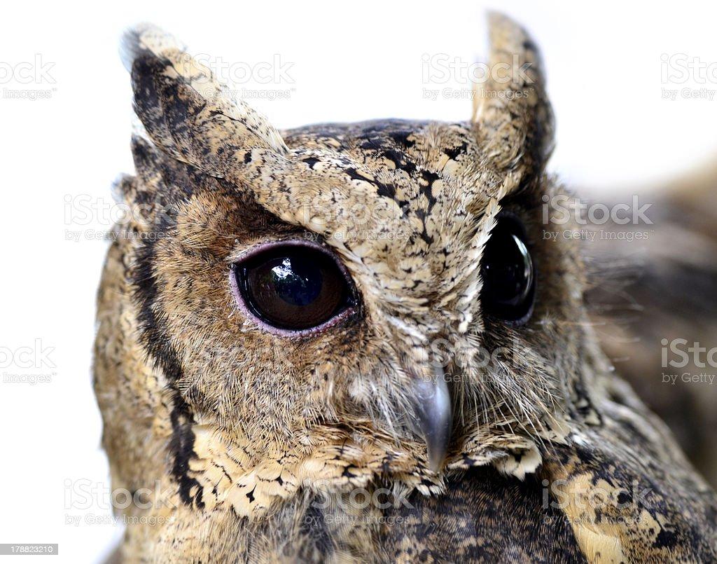 Oriental Scops Owl (Otus sunia), closeup of face and eye royalty-free stock photo