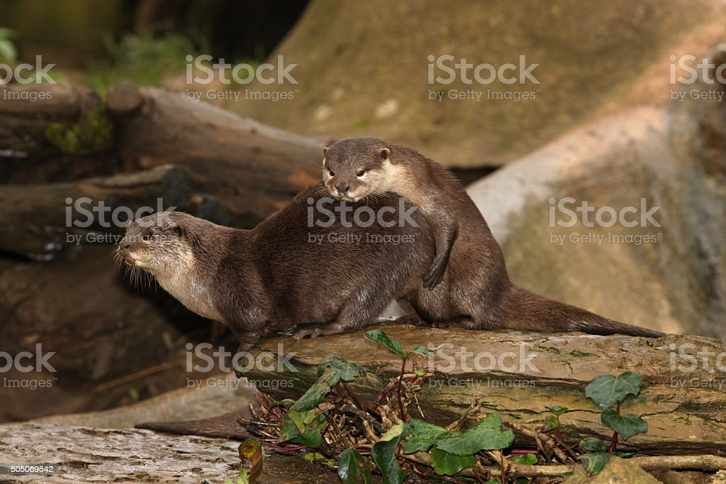 Oriental Short Clawed Otters mating stock photo