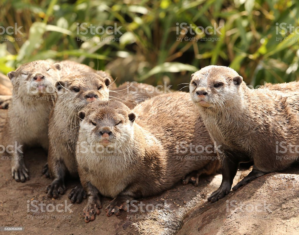 Oriental Short Clawed Otters stock photo