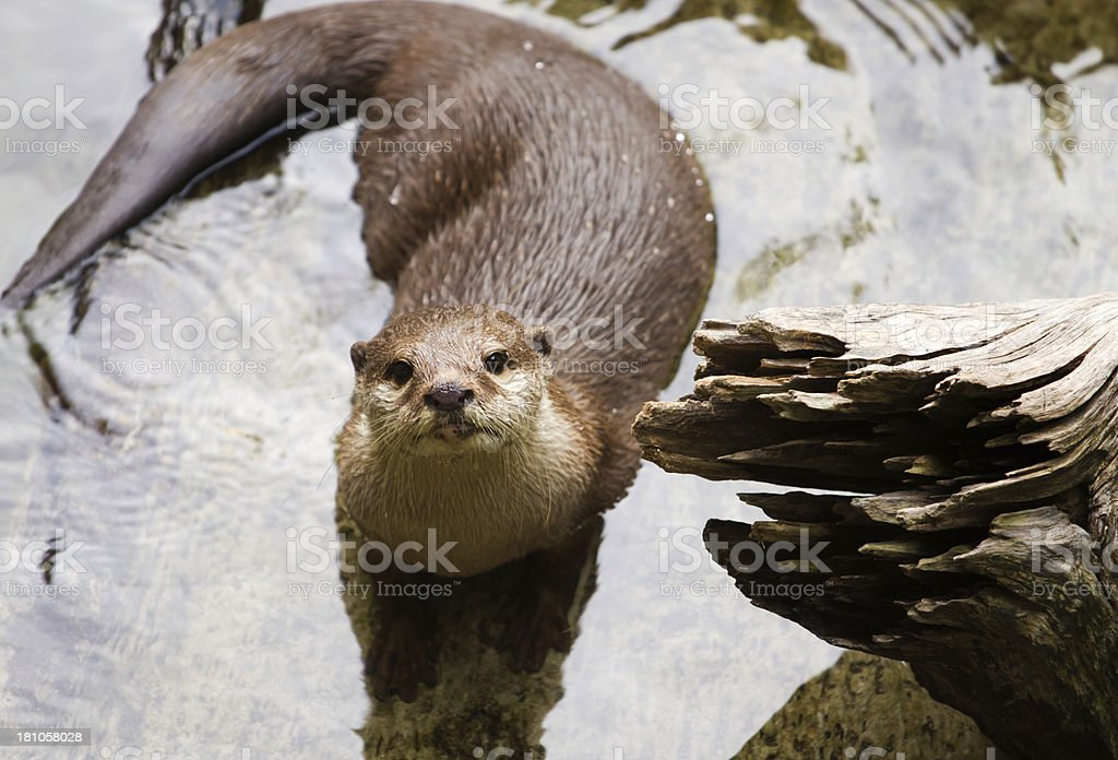 Oriental Short-Clawed Otter (amblonyx cinereus) swimming royalty-free stock photo