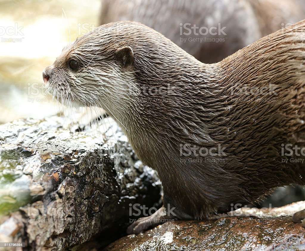 Oriental Short-Clawed Otters stock photo