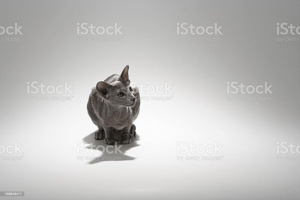 Oriental Shorthair Cat royalty-free stock photo