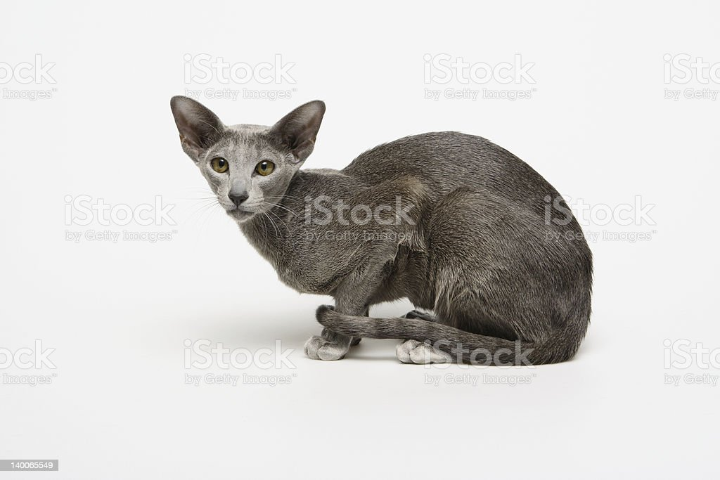 Oriental Shorthair royalty-free stock photo