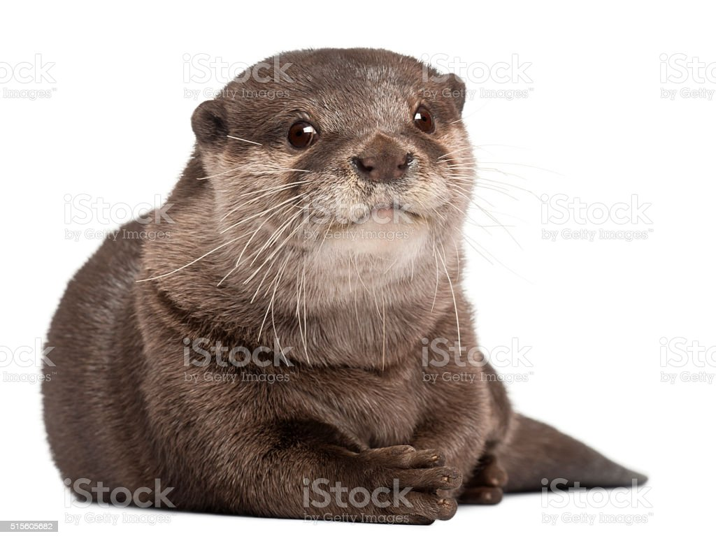 Oriental small-clawed otter, Amblonyx Cinereus, 5 years old, lying stock photo