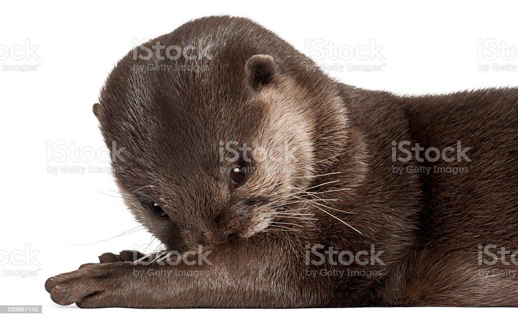 Oriental small-clawed otter, Amblonyx Cinereus, 5 years old, lying stock photo