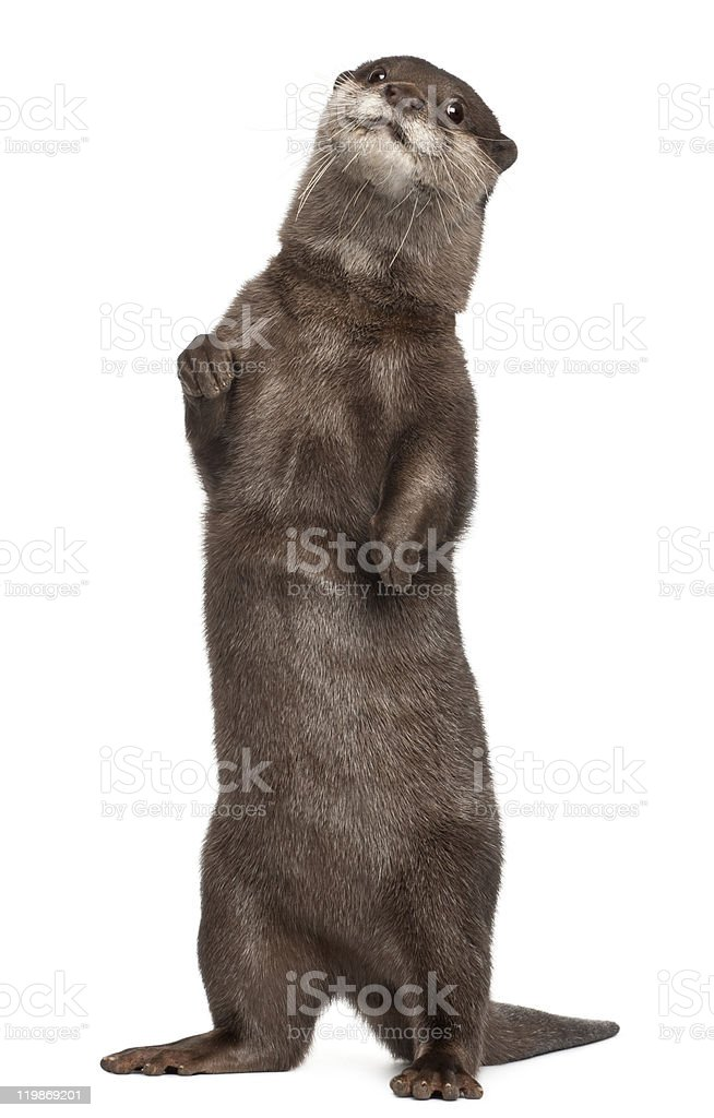 Oriental small-clawed otter, Amblonyx Cinereus, standing, white background. stock photo