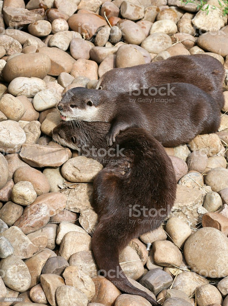 Oriental Small-Clawed Otter Family Sleeping on the Rock stock photo