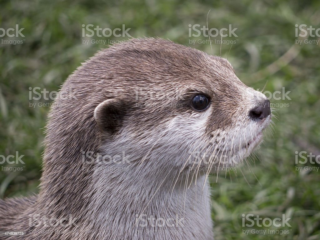 Oriental Small-clawed Otter royalty-free stock photo