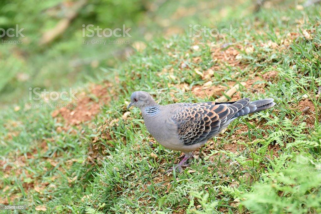Oriental turtle dove stock photo