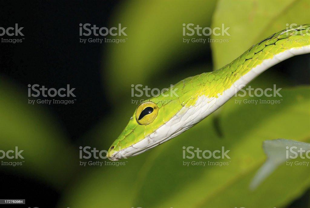 Oriental Whip Snake (Ahaetulla prasina) in Singapore royalty-free stock photo