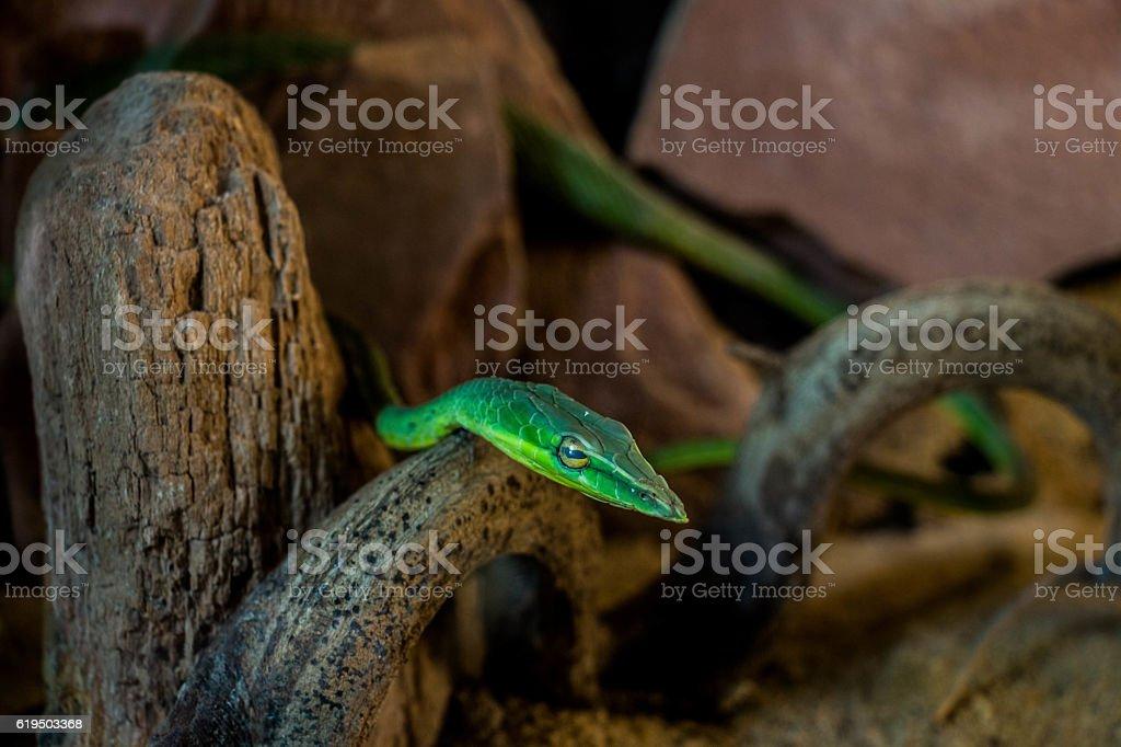 Oriental whipsnake stock photo