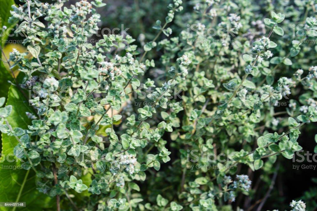 origanium majorana herb plant close up aroma leaf stock photo