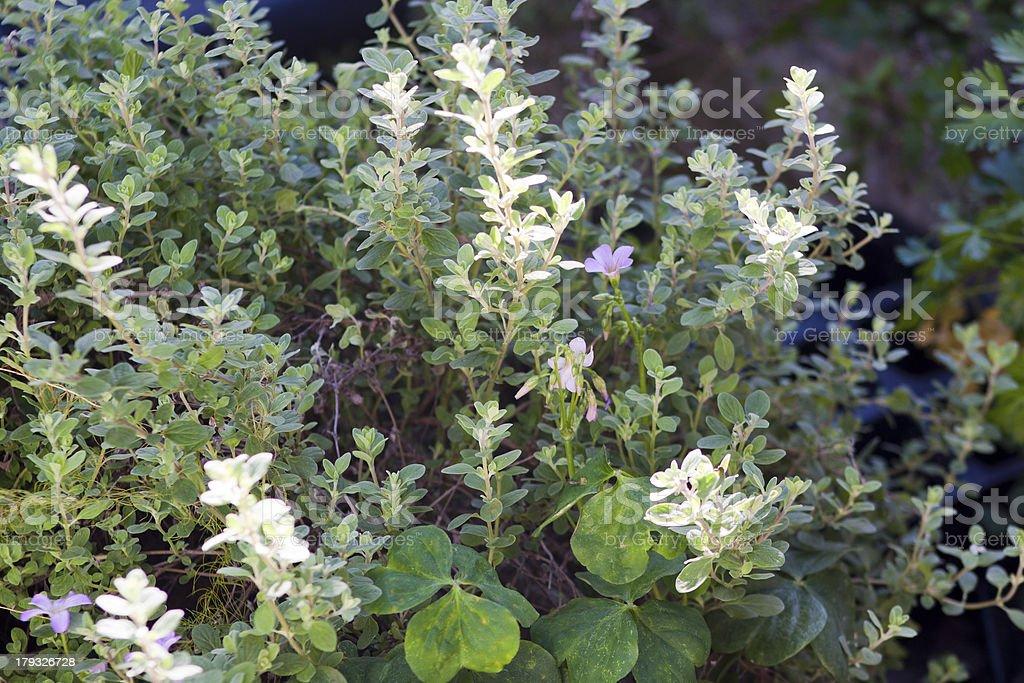 Origano Plants Closeup stock photo