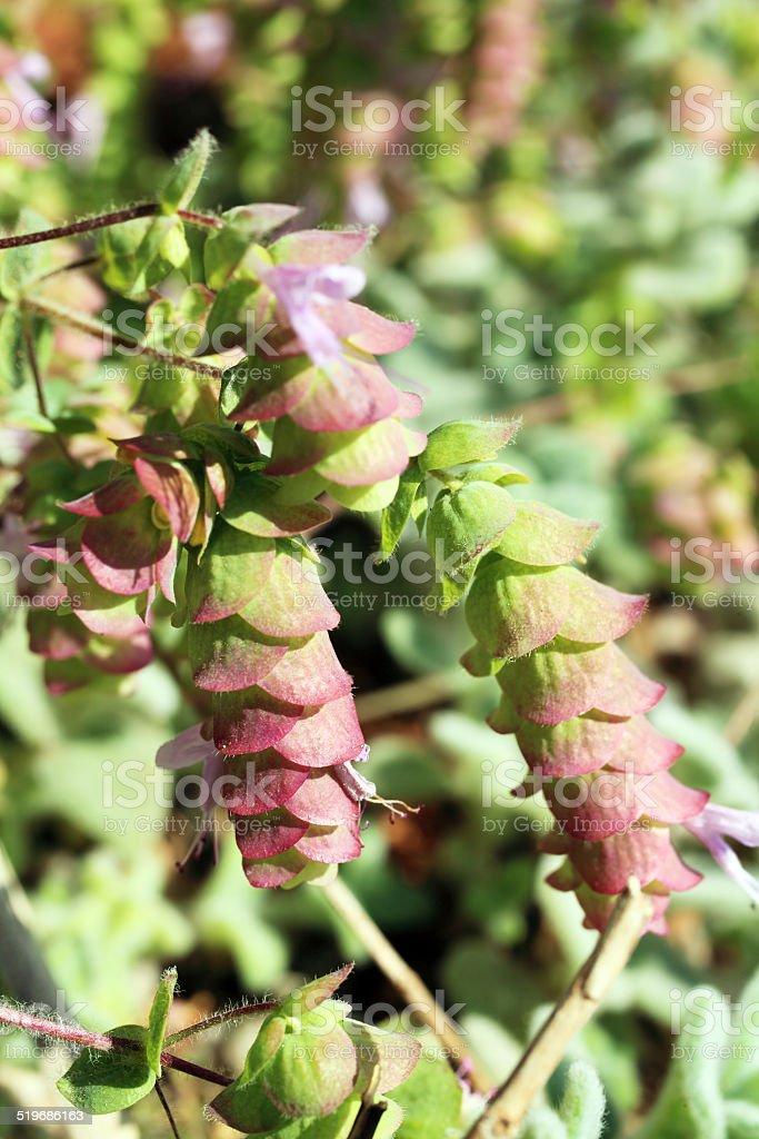 Origanum Dictamnus, Dittany of Crete Herb stock photo