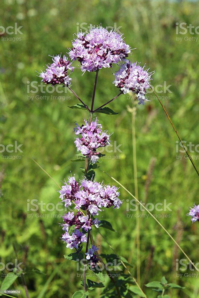 origanum vulgare stock photo