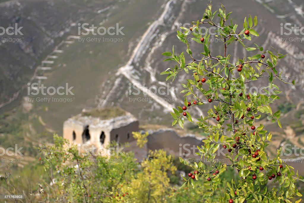 original ecology of the great wall and wild jujube royalty-free stock photo