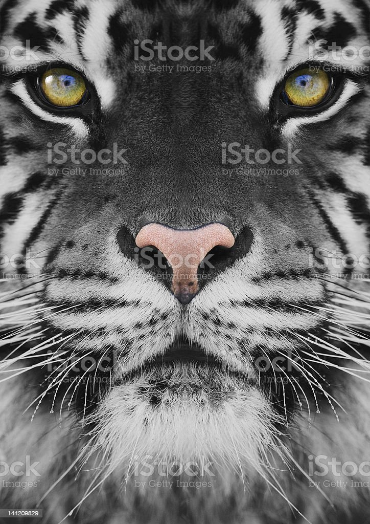 Original Tiger Portrait. Close up stock photo