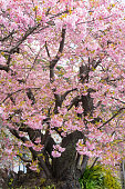 Original Tree of Kawazu-zakura