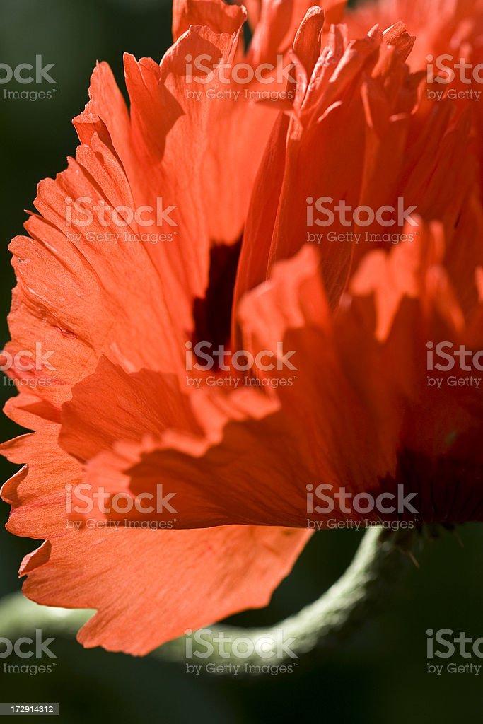 Orinetal poppy series royalty-free stock photo