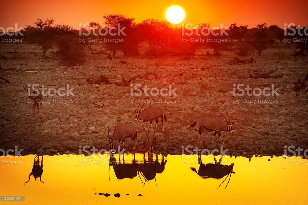 Orix anthelopes at sunset, Okaukuejo waterhole, Etosha National Park stock photo
