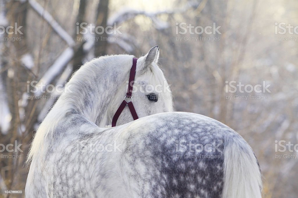 Orlov trotter stock photo