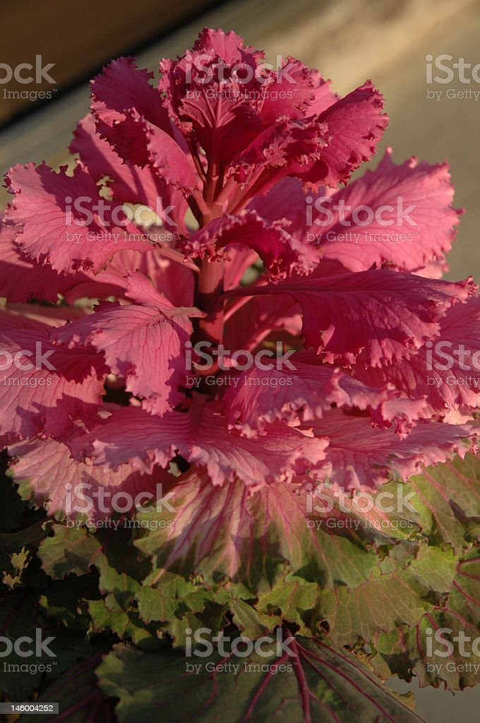 Ornamental abbage plant in sunshine royalty-free stock photo