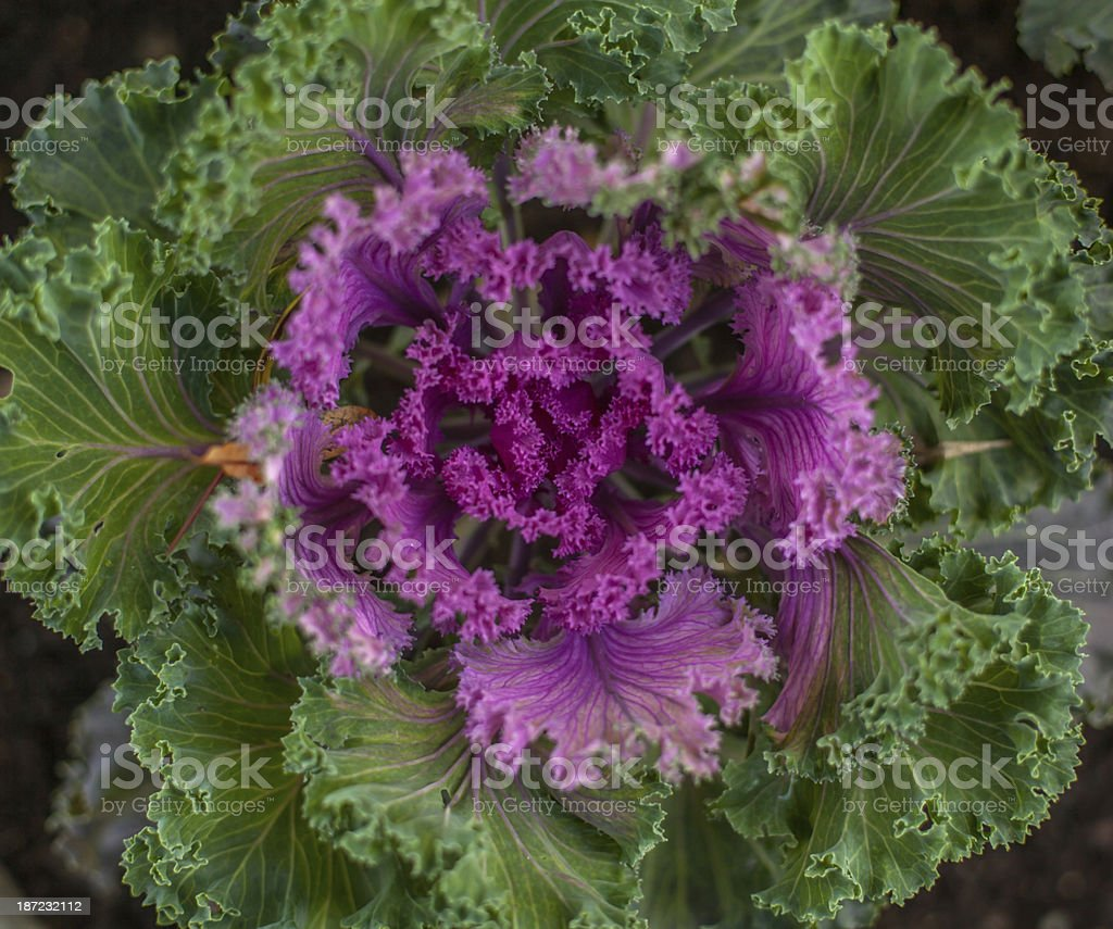 ornamental cabbage in soft focus royalty-free stock photo