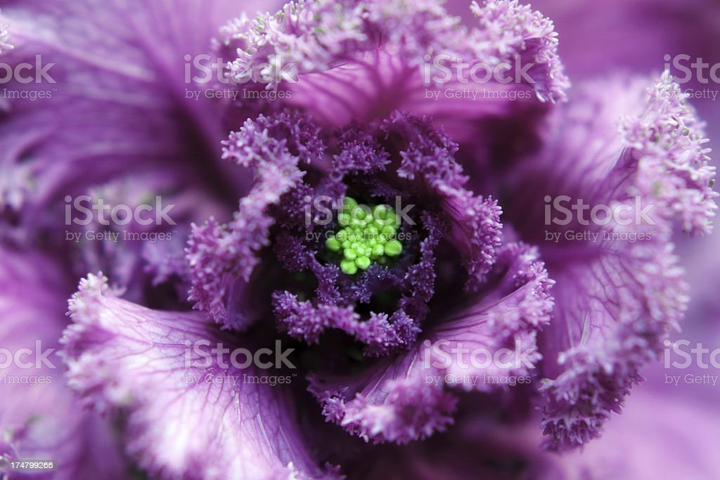 Ornamental Cabbage royalty-free stock photo