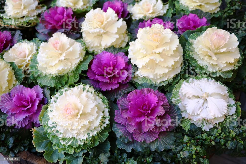 Ornamental cabbages in flower pots in autumn stock photo
