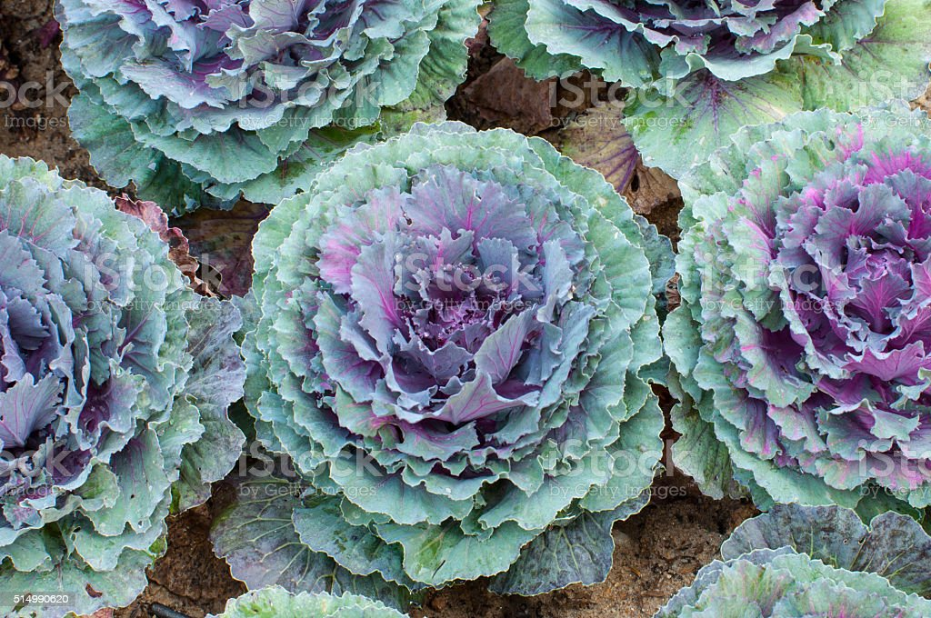 Ornamental cabbages, winter flowers stock photo