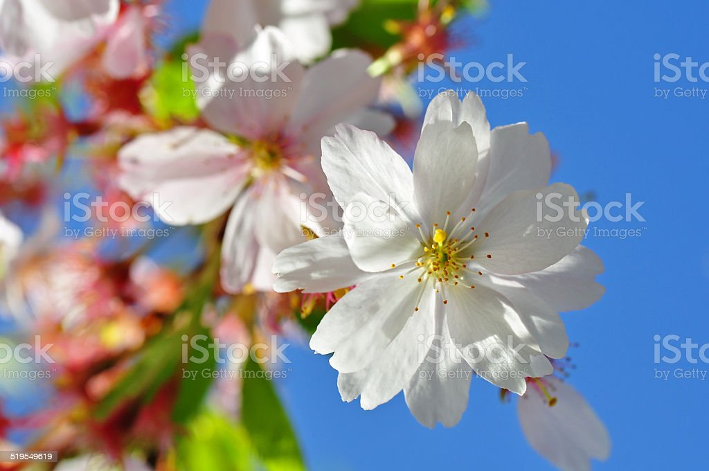 ornamental cherry stock photo