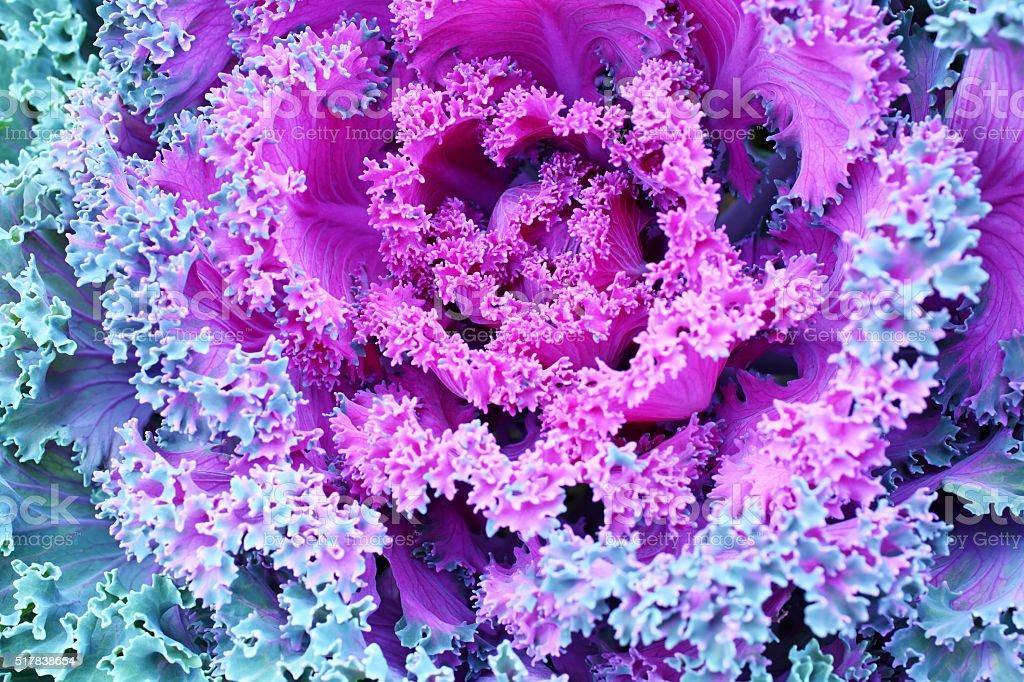 Ornamental decorative cabbage stock photo