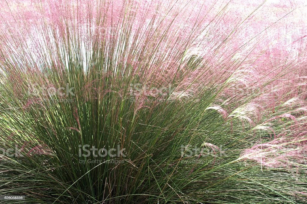 Ornamental grass nature background stock photo