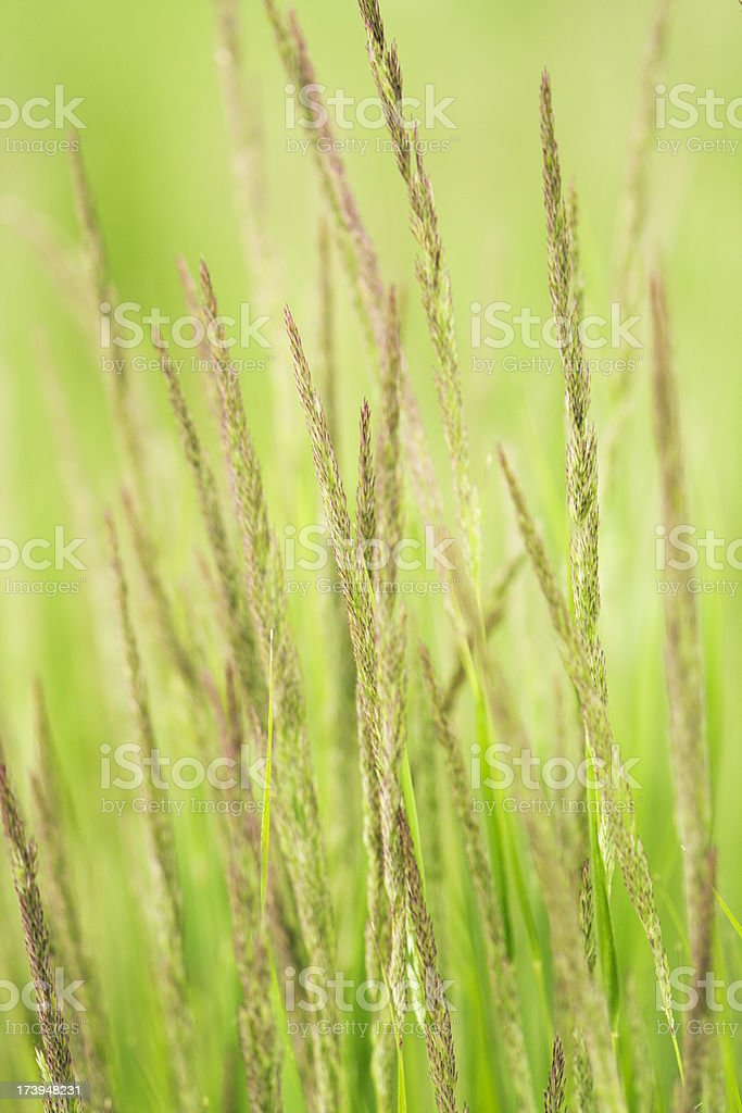 Ornamental Grass royalty-free stock photo