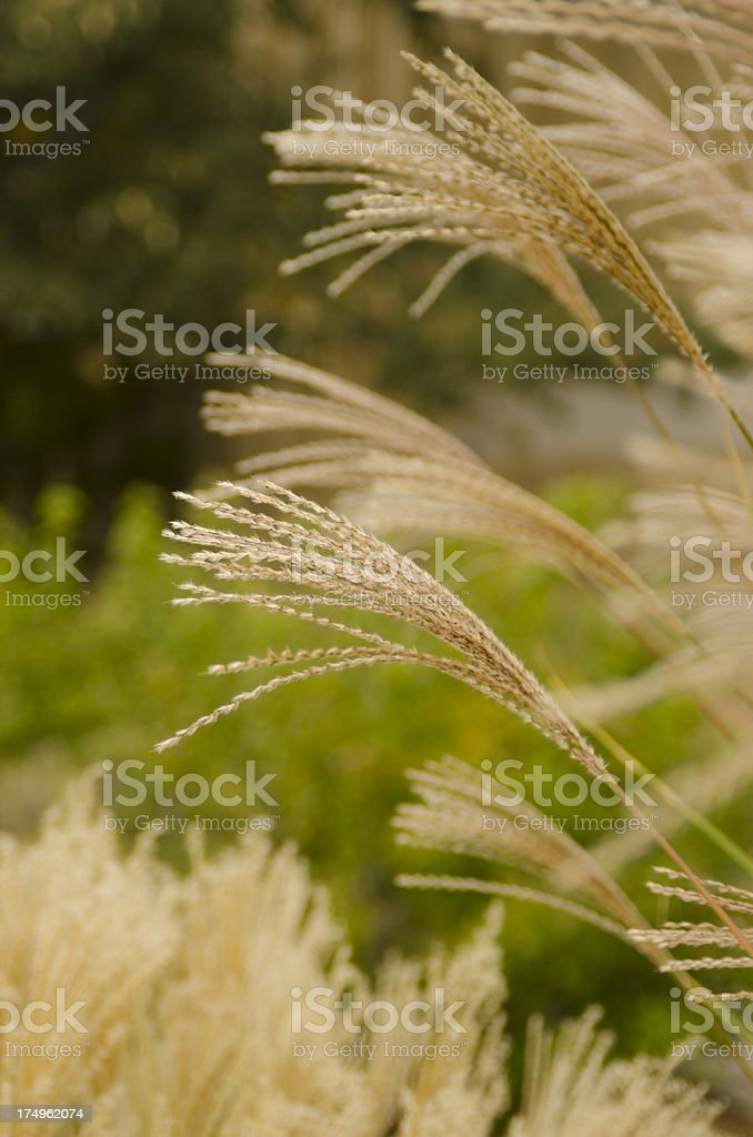 Ornamental Grass royalty-free stock photo
