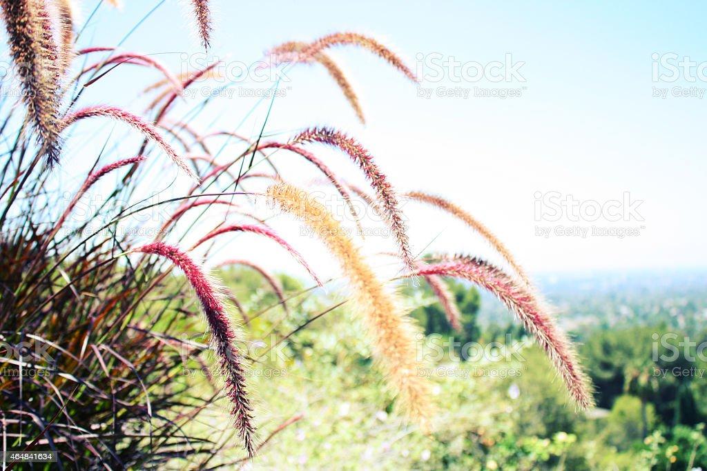 Ornamental Grasses in a Californian Garden stock photo