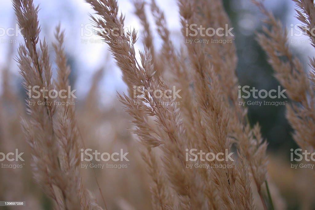 Ornamental Grasses royalty-free stock photo