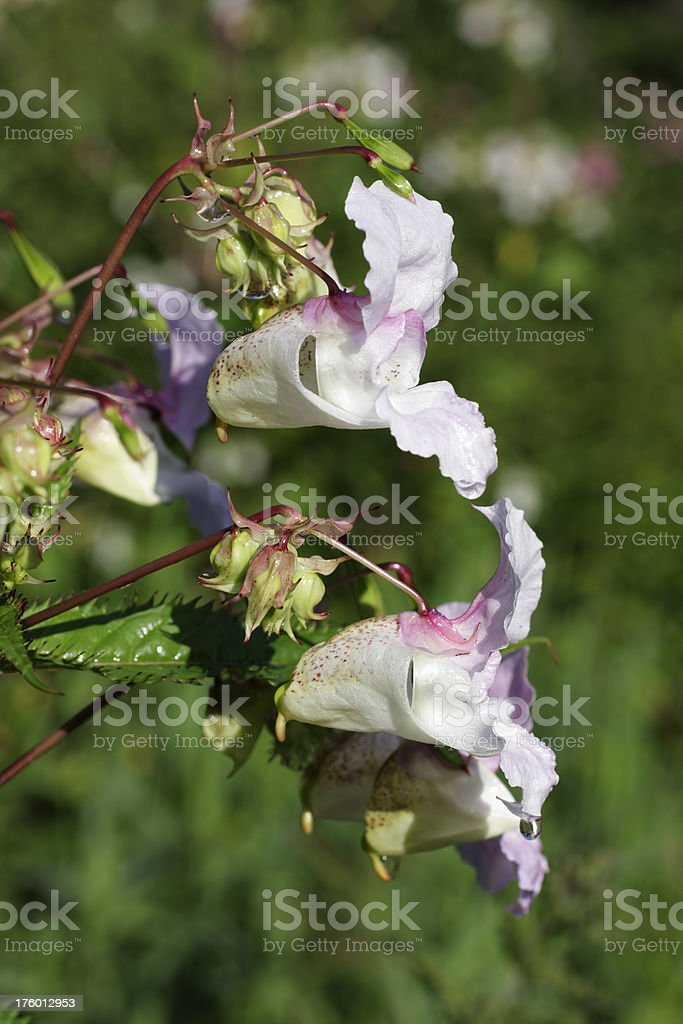 Ornamental jewelweed Impatiens glandulifera flowers in profile stock photo