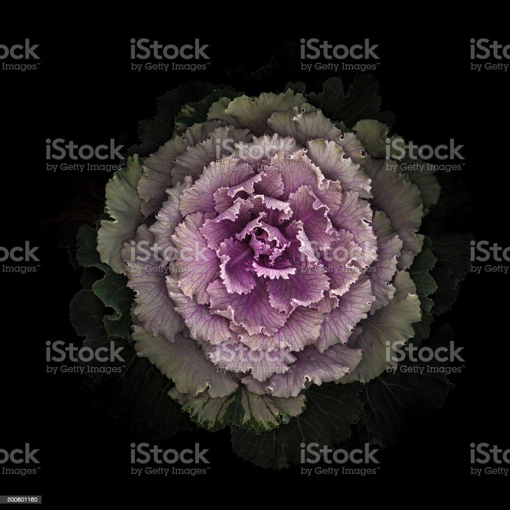 Ornamental kale cabbage stock photo