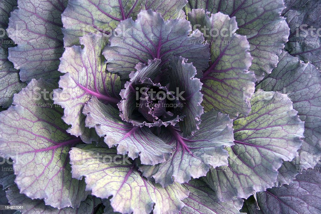 Ornamental Kale stock photo