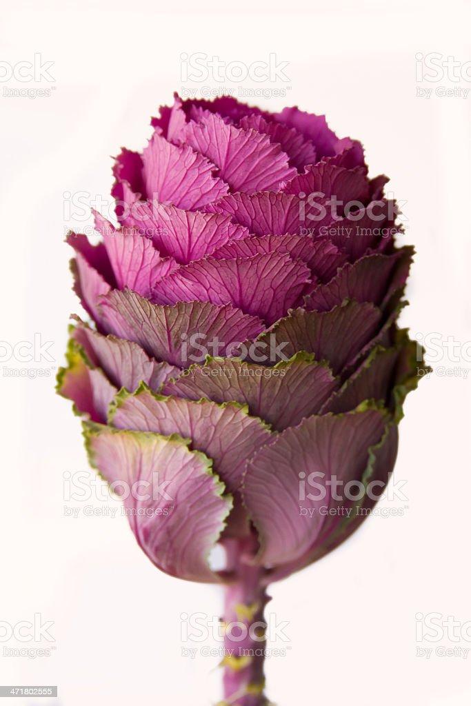 Ornamental Kale (Brassica oleracea) stock photo