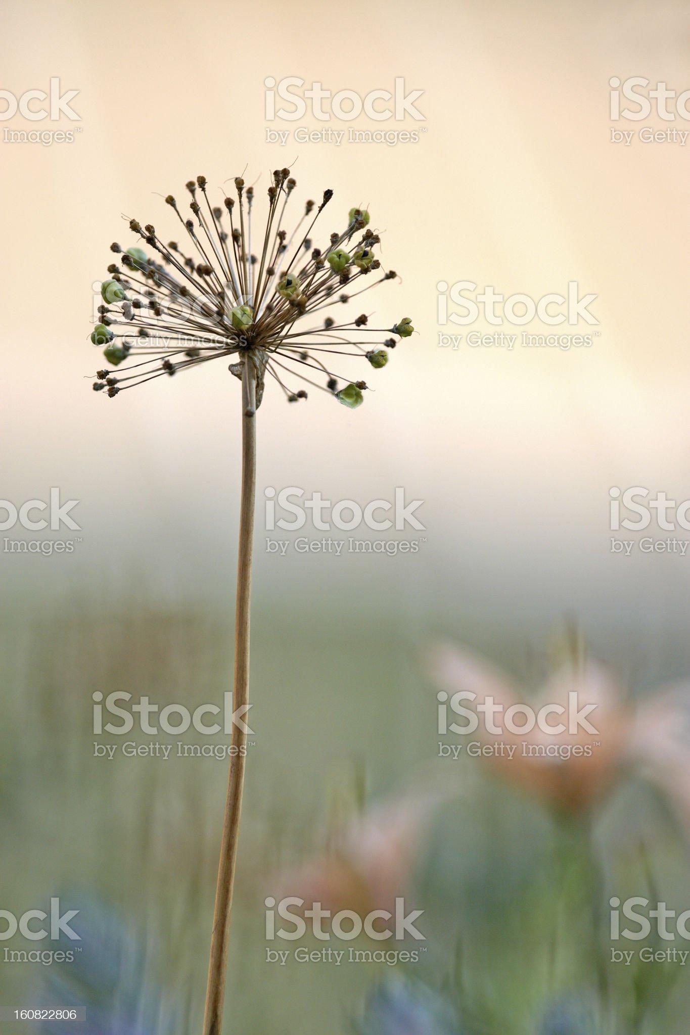 Ornamental onion royalty-free stock photo