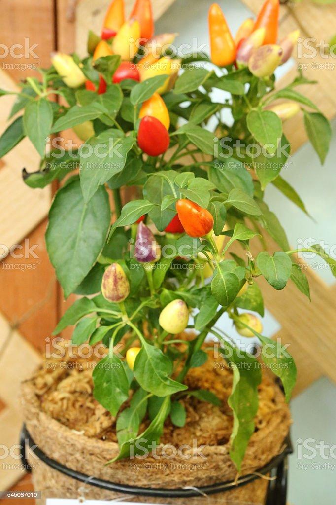Ornamental Pepper - Solanaceae - Capsicum Annuum L stock photo