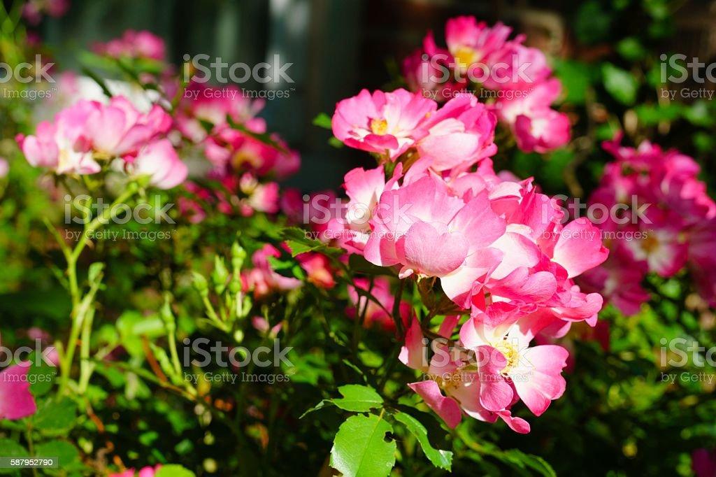 Ornamental Roses in Bloom stock photo