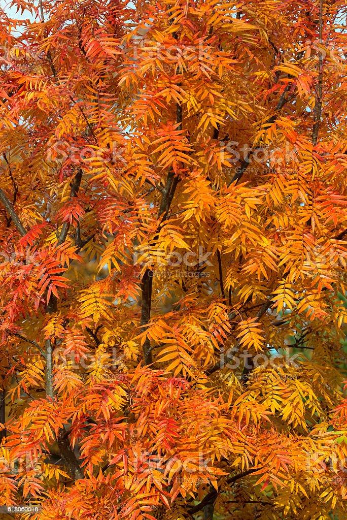 ornamental rowan tree in fall colors stock photo