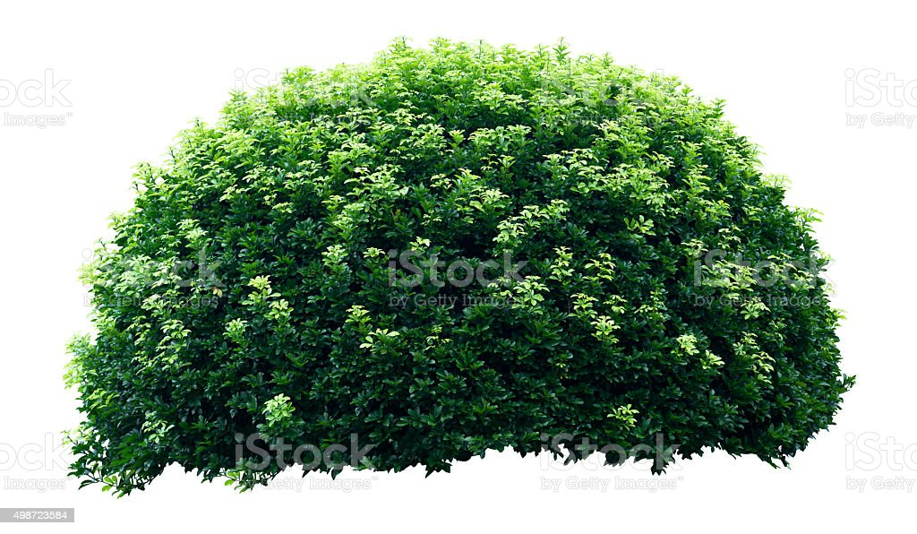 Ornamental tree stock photo