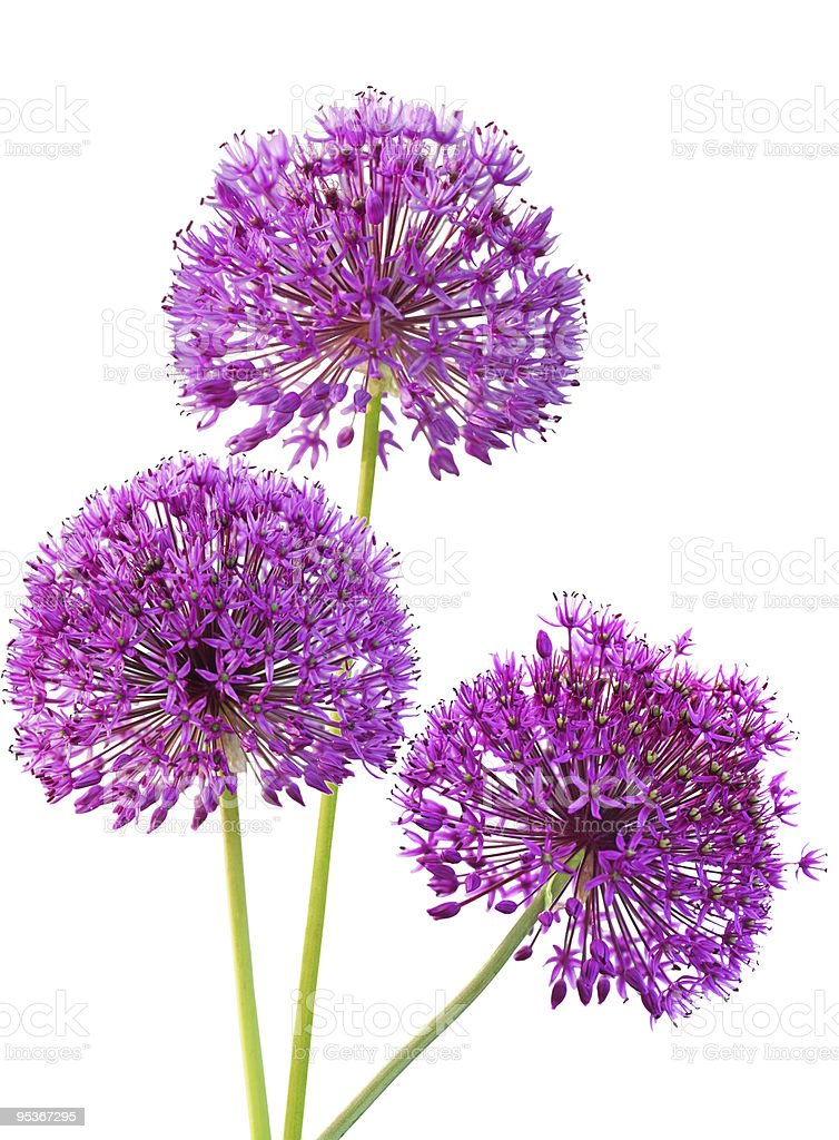 Ornametal alliums flowers stock photo